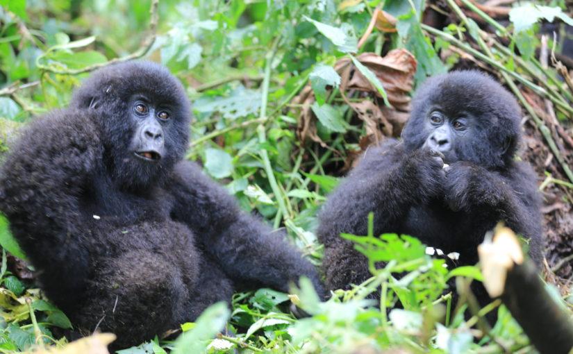 Gorillas in the mist, rain and thunder